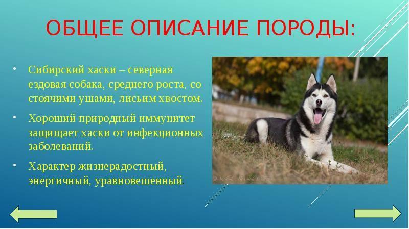 Собаки породы лайка: западно-сибирская, сиба-ину и восточно-сибирская