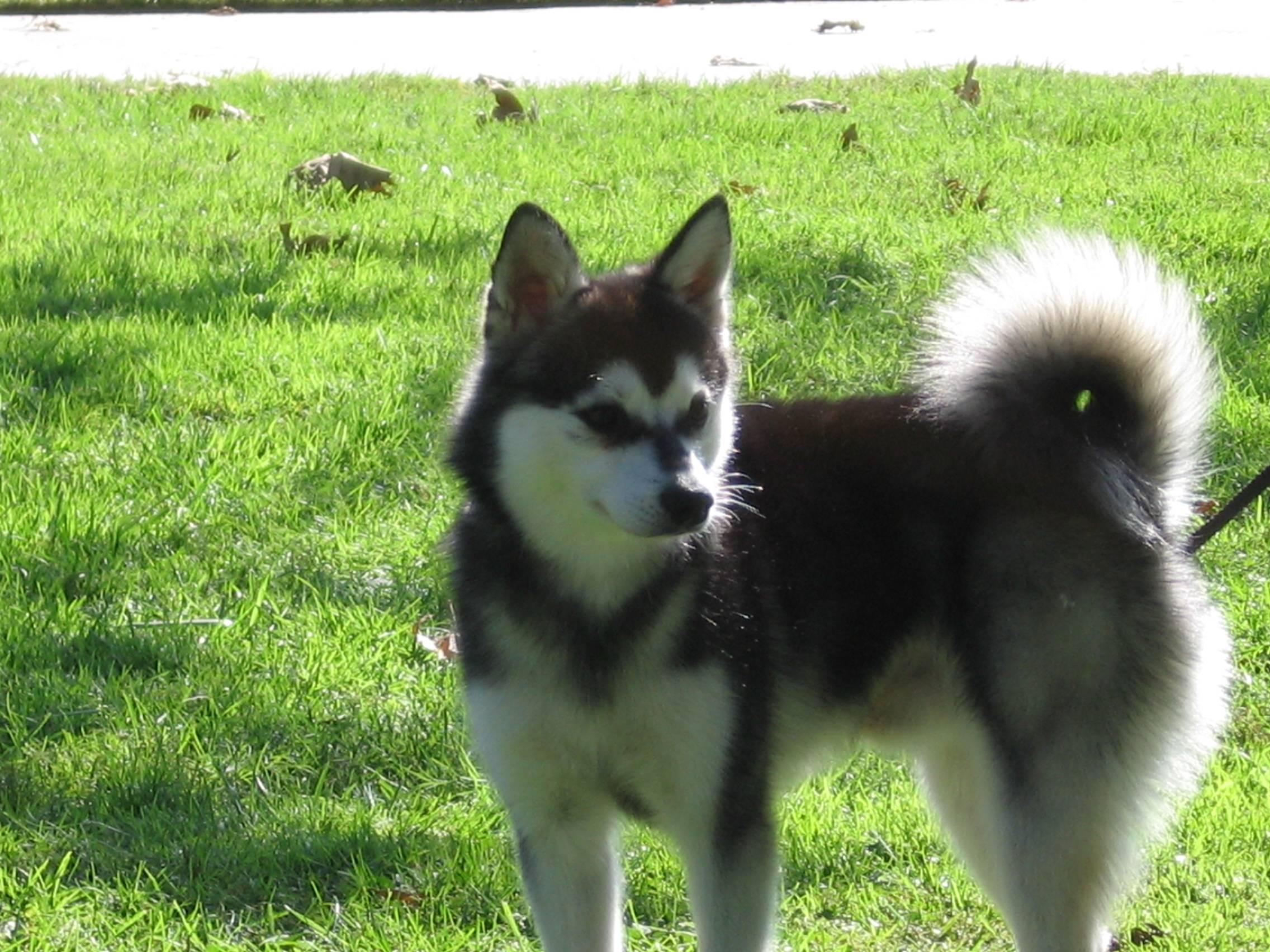 Аляскинский кли кай собака. описание, уход и цена породы аляскинский кли-кай | животный мир