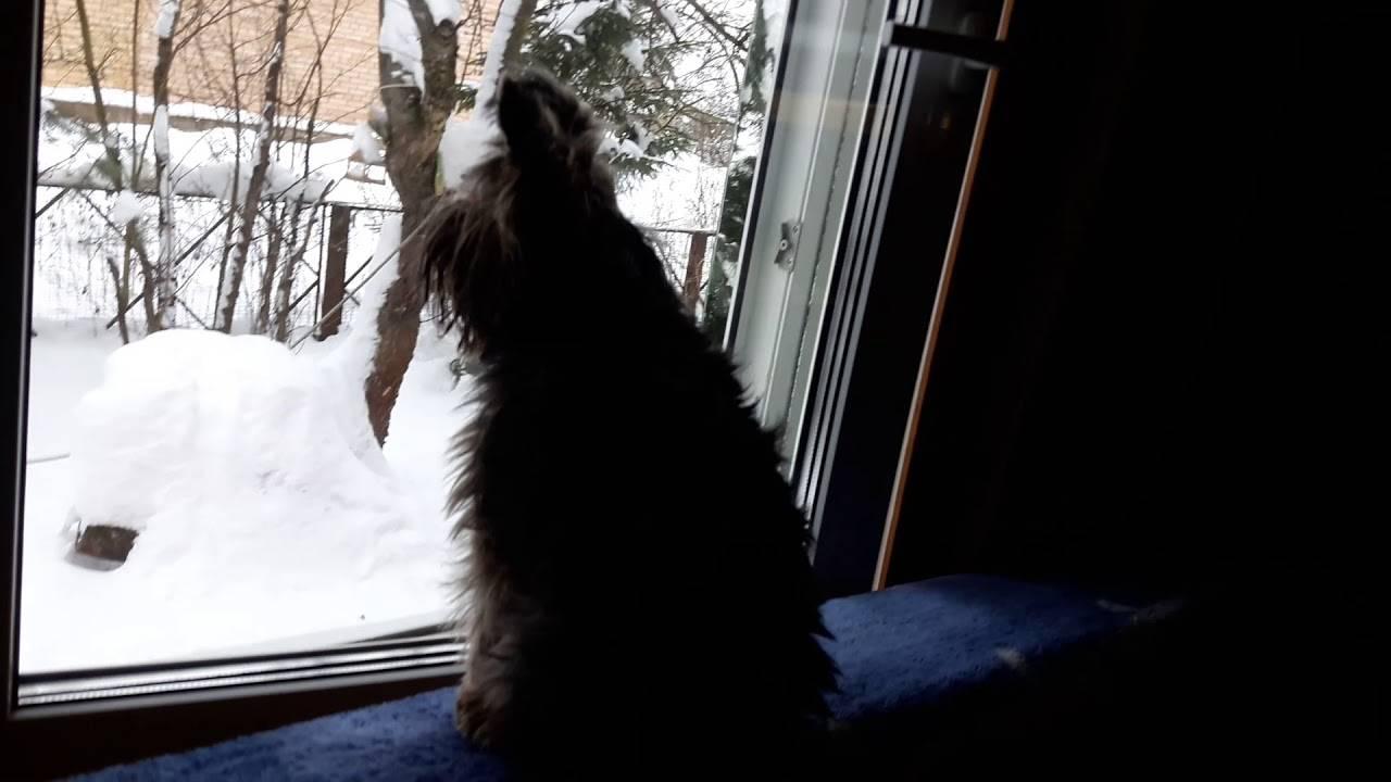 Собака воет – почему и что делать?