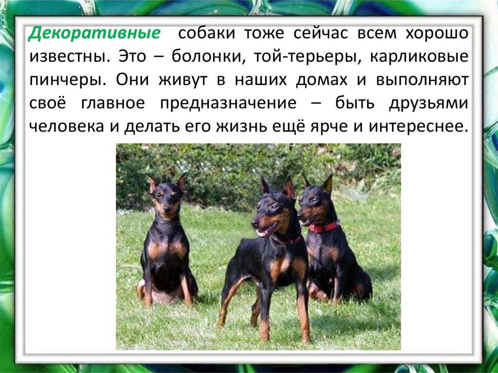 Описание породы собак — немецкий пинчер, стандарты, воспитание и уход