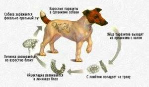 Возможно ли человеку заразиться глистами от собаки: опасны ли они для людей