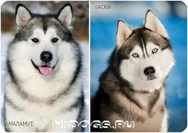 Отличия маламута от других северных ездовых собак