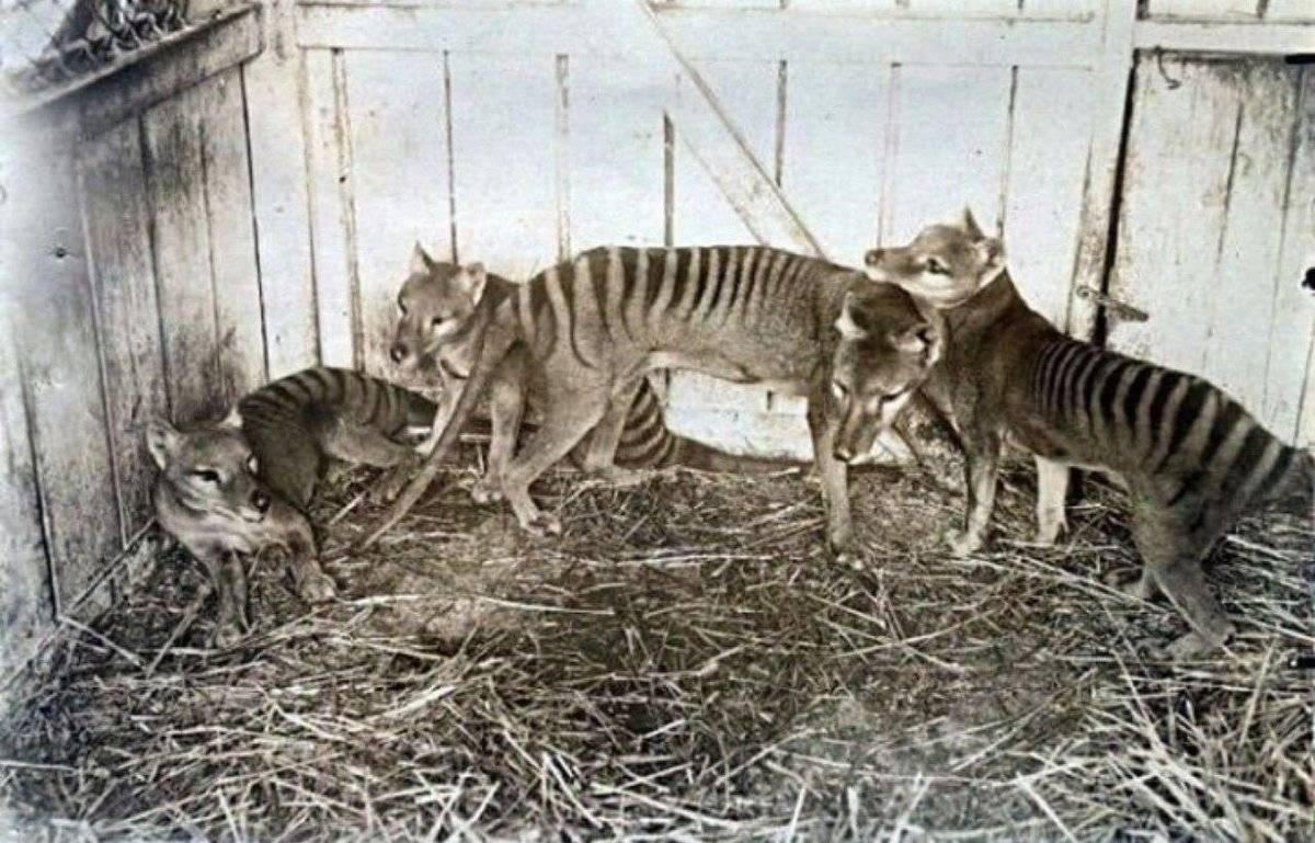 26 пород кошек на грани исчезновения