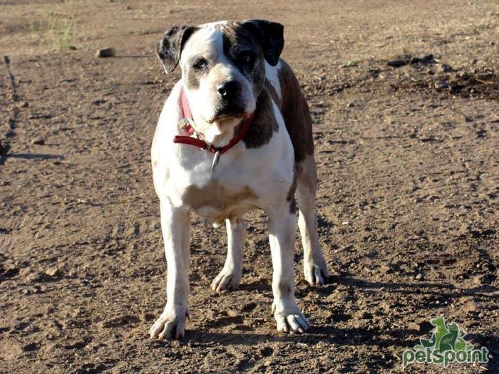 Родезийский риджбек (африканская львиная собака): фото, содержание и уход