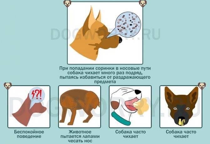 Собака чихает после сна. болезни собак породы шпиц. когда стоит отправиться к ветеринару - новая медицина
