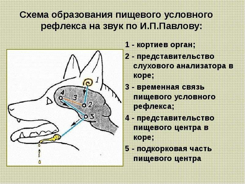 Суть эксперимента с собакой павлова