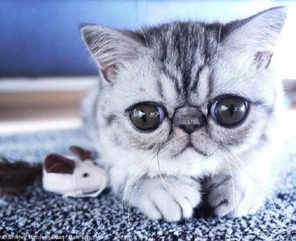 Кошки всех пород с фотографиями, названиями и особенностями характера   знать про все