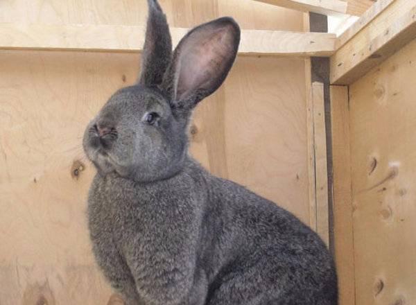Особенности содержания и разведения кроликов фландр в домашних условиях