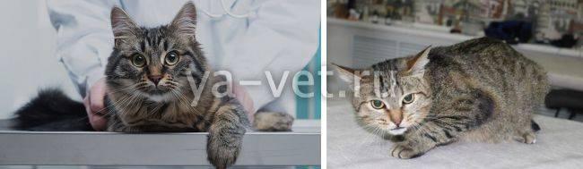 Инсульт у кошек: симптомы и первые признаки, что делать, лечение в домашних условиях, восстановление
