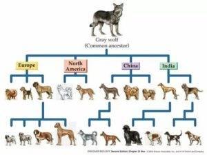 Как происходило одомашнивание собак – энциклопедия о собаках