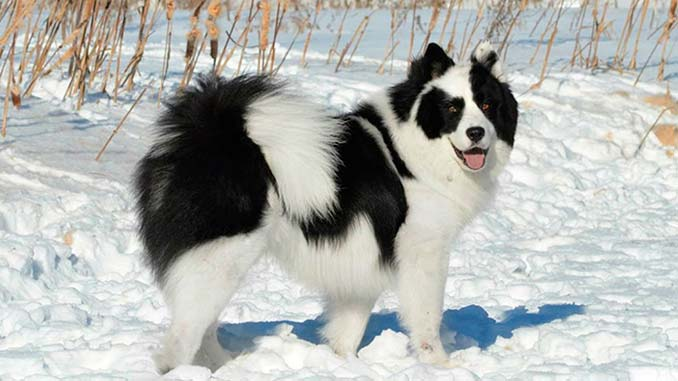 Якутская лайка: фото, описание, содержание и уход за собакой с голубыми глазами
