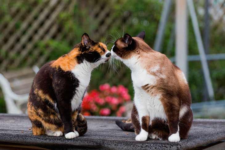 Как выбрать партнера и организовать вязку кошек