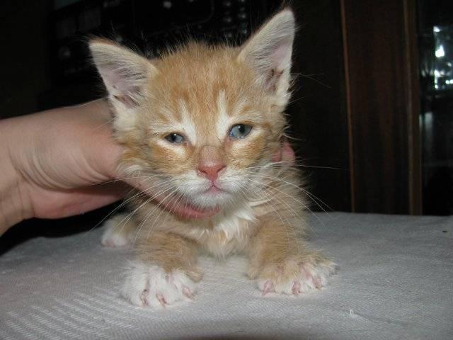 Насморк у кошки или котенка: причины и лечение в домашних условиях