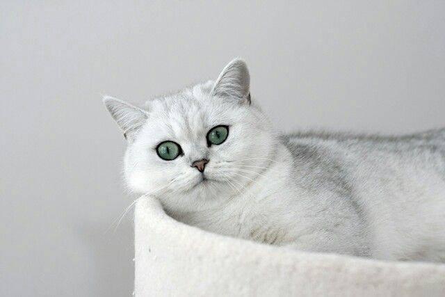 Роскошная британская длинношёрстная кошка