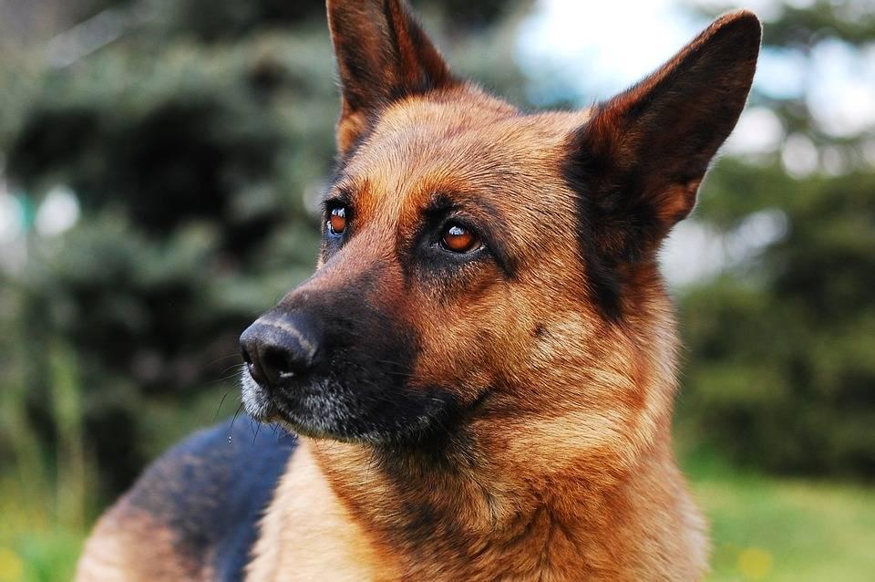 Самые преданные и верные породы собак | какие