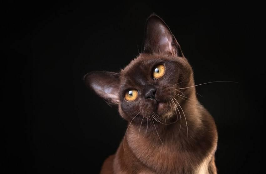Бурманская кошка: описание породы, особенности характера, правила ухода и содержания