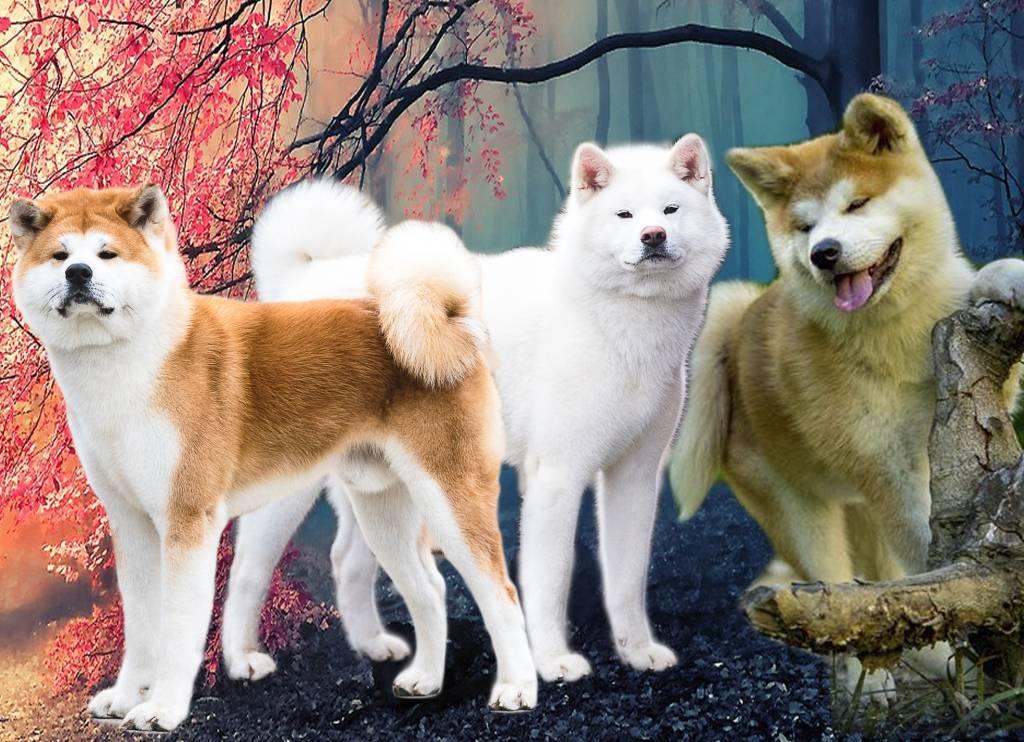 Акита-ину — собака «собственник» ⋆ собакапедия