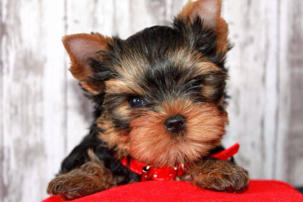 Клички для той-терьера: популярные имена для девочек и мальчиков, лучшие имена для собак маленьких пород