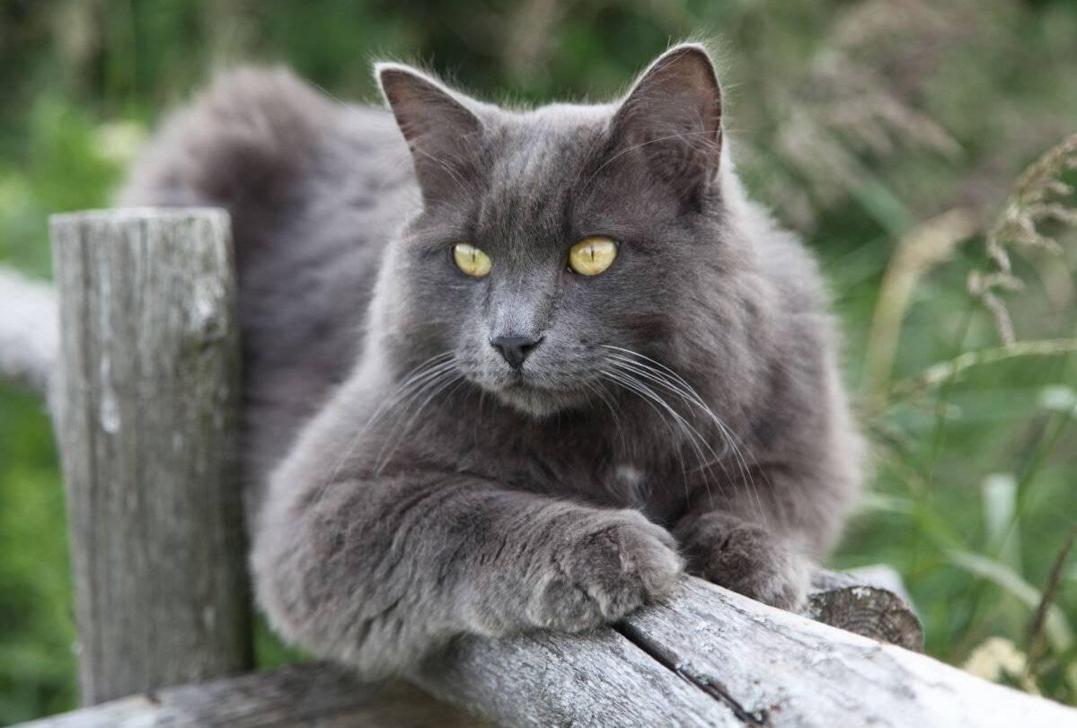 Порода кошек нибелунг: стандарт и характер, уход и содержание, разведение