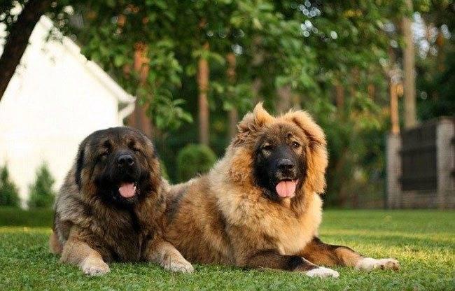 """Собака для охраны частного дома: какую породу выбрать — """"лапы и хвост"""""""
