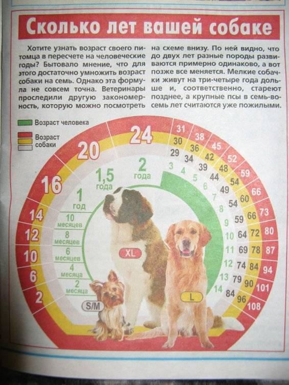 До какого возраста собака считается щенком | когда перестает