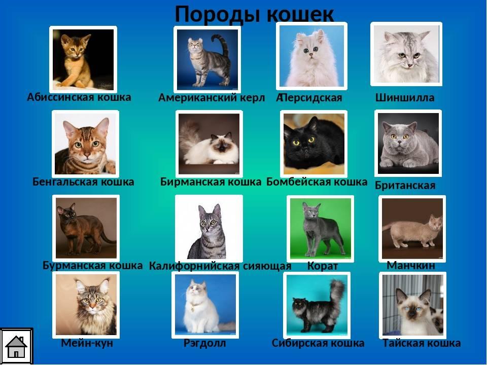 Как определить породу кошки: внешний вид, размеры