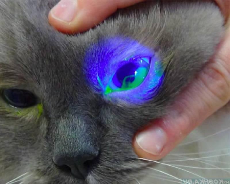 Гноятся глаза у котенка: способы лечения и советы