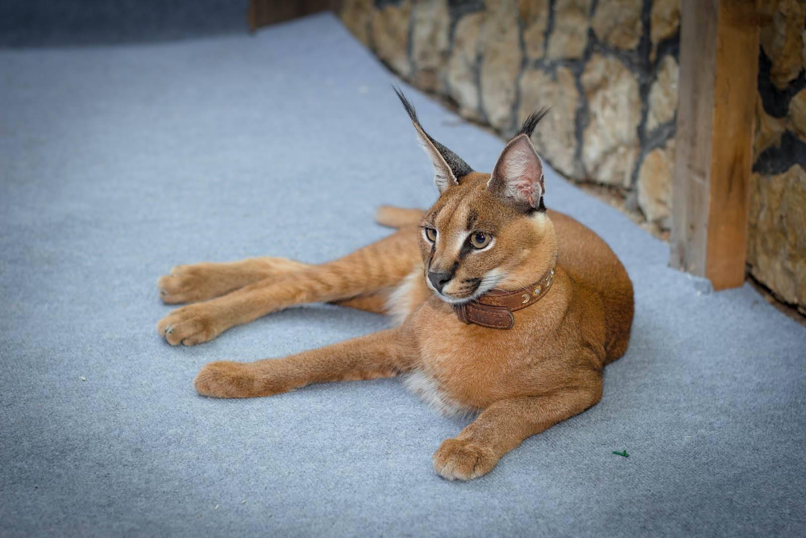 Подробное описание породы кошек каракет: средняя стоимость этого вида