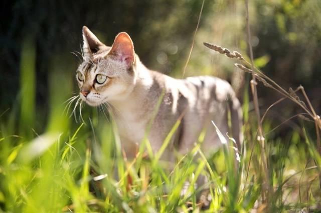 Сингапурская кошка: как выглядит, сколько стоит, чем кормить и как ухаживать