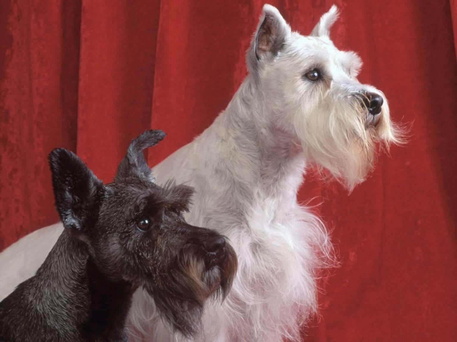Цвергшнауцер: фото собаки, плюсы и минусы породы, окрасы, все о породе