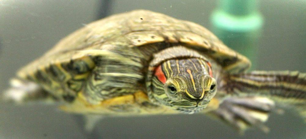 Сколько живут красноухие черепахи в аквариуме?