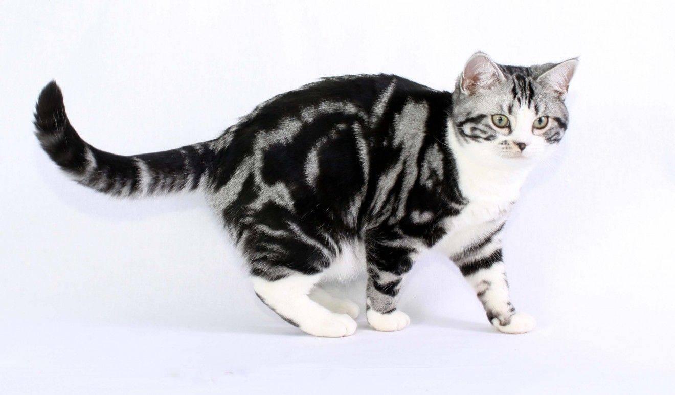 Американская короткошерстная кошка: описание породы, особенности характера и поведения, правила ухода и кормления котов, фото