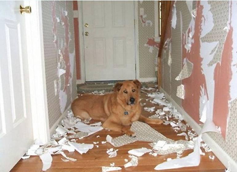 Собака грызет мебель: что делать, как отучить