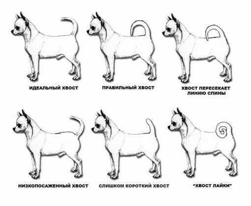 Все о чихуахуа: характеристика, описание стандарта, уход, и особенности содержания