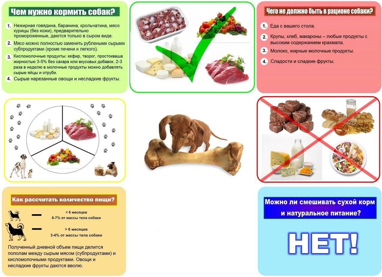 Чем кормить мопса: питание собаки, лучшие сухие корма, диета для толстых питомцев и запрещенные продукты