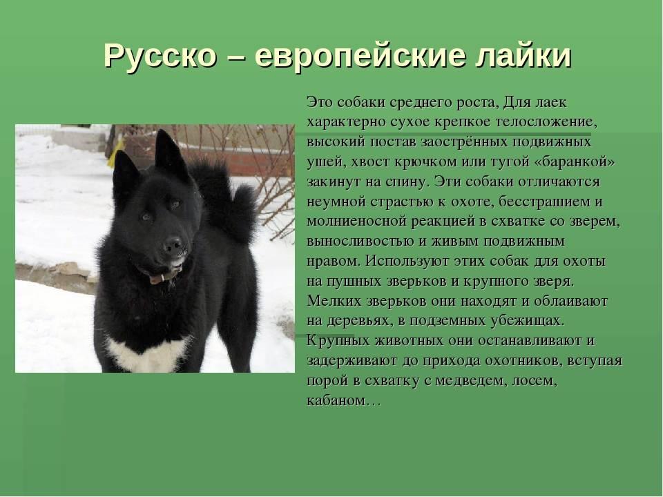 Русско-европейская лайка: описание породы, восточного и западного подвида