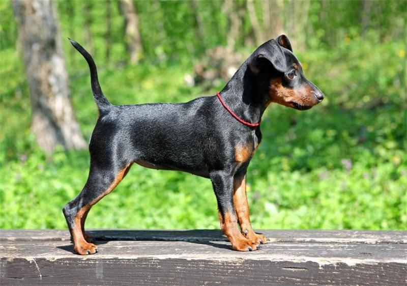 Карликовый пинчер (цвергпинчер) собаки: фото, характер и цены