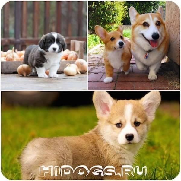 Собака корги пемброк: описание породы, фото