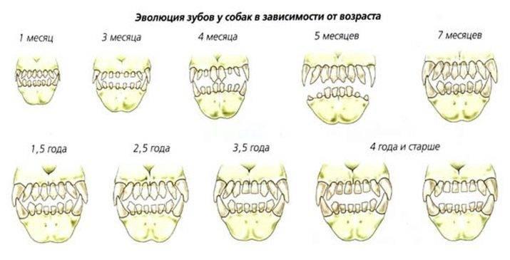 В каком возрасте у собаки поменяются молочные зубки на постоянные
