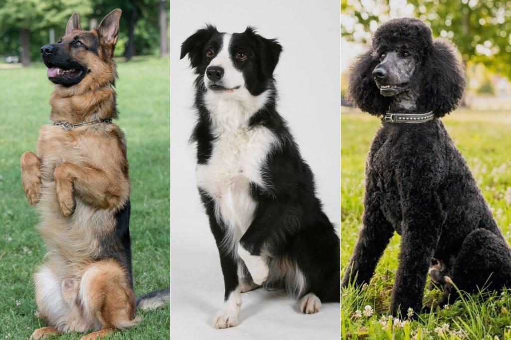 Огромные, маленькие, карликовые, пушистые, лысые, но добрые: топ-10 пород собак