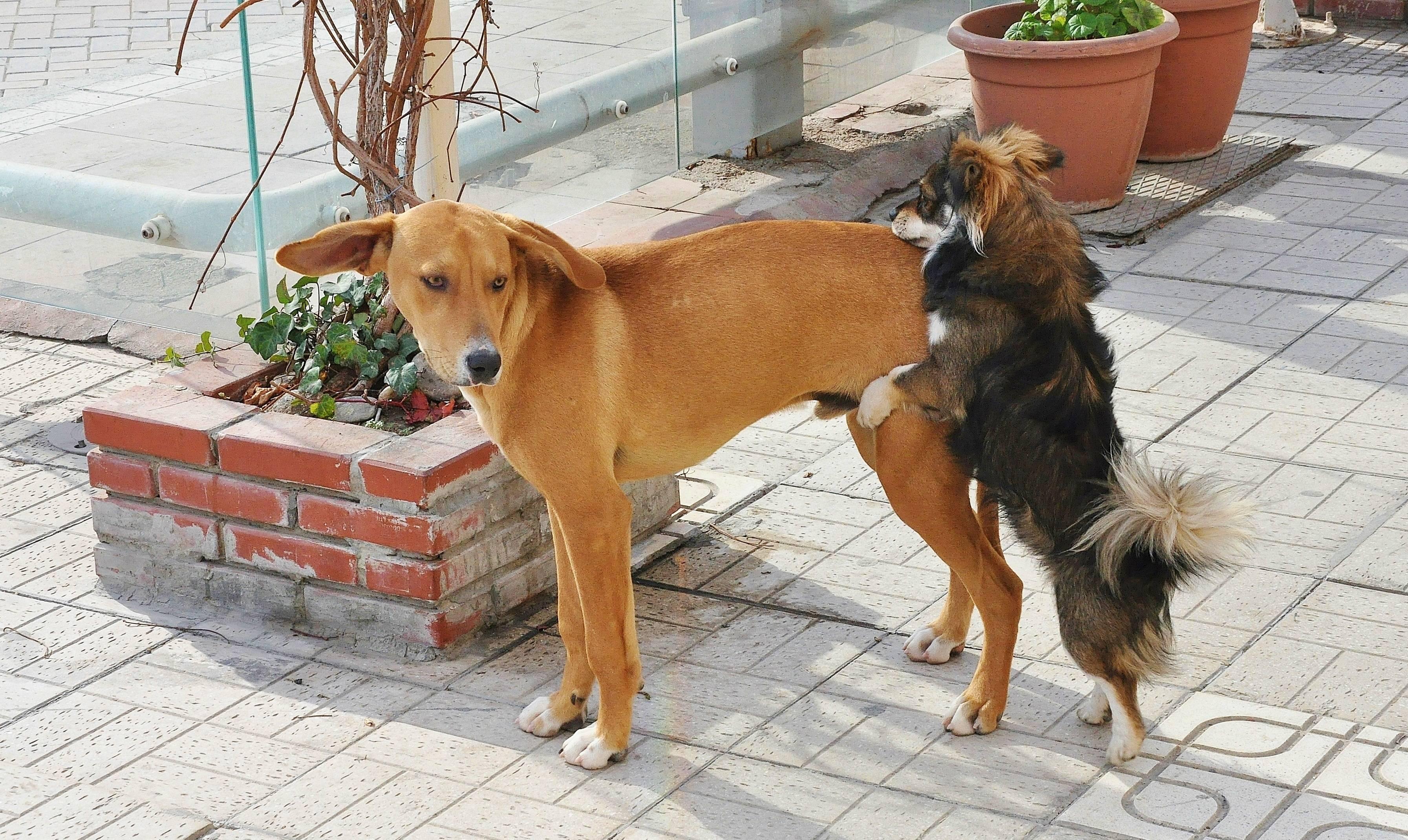 Почему собака с женщиной не скрещиваются. почему при спаривании слипаются собаки