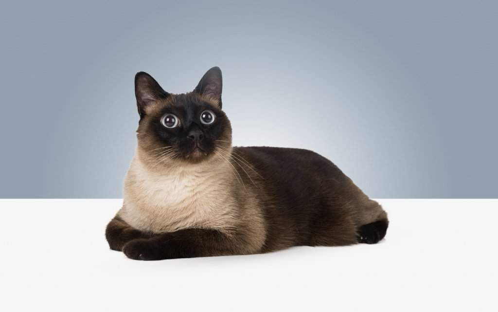 10 самых умных пород домашних кошек