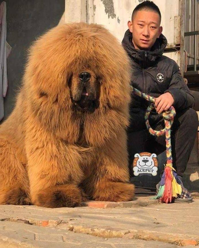 Редкая, древняя и дорогая порода – тибетский мастиф