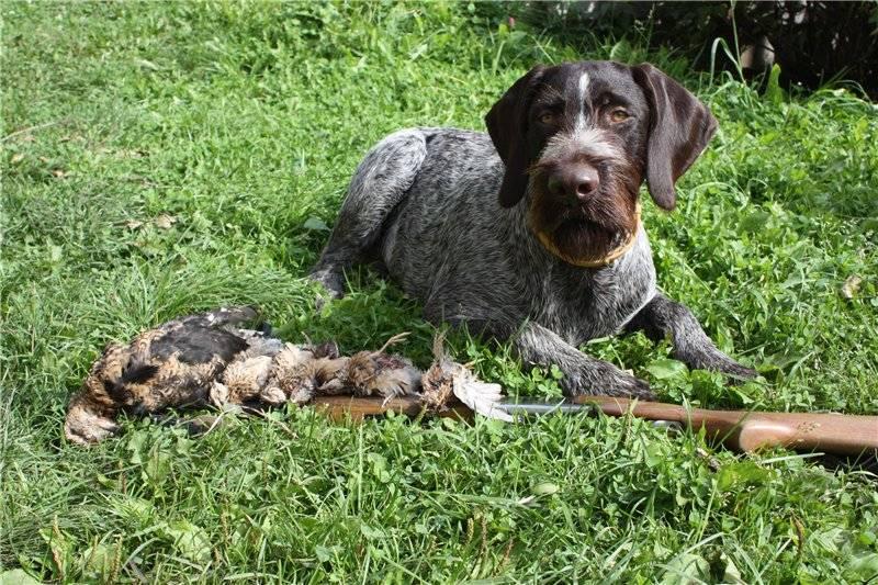 Дратхаар — всё об охотничьей породе