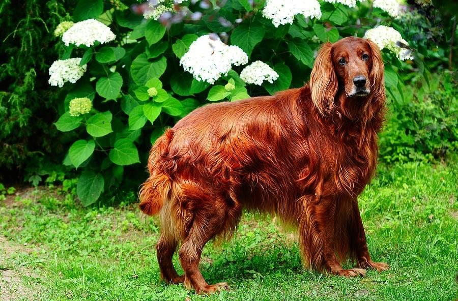 Красный ирландский сеттер: описание собаки и характеристика породы