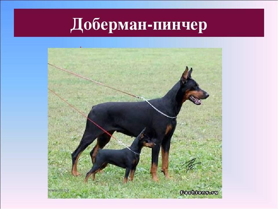 Кто такой доберман-пинчер: друг человека или собака-убийца?