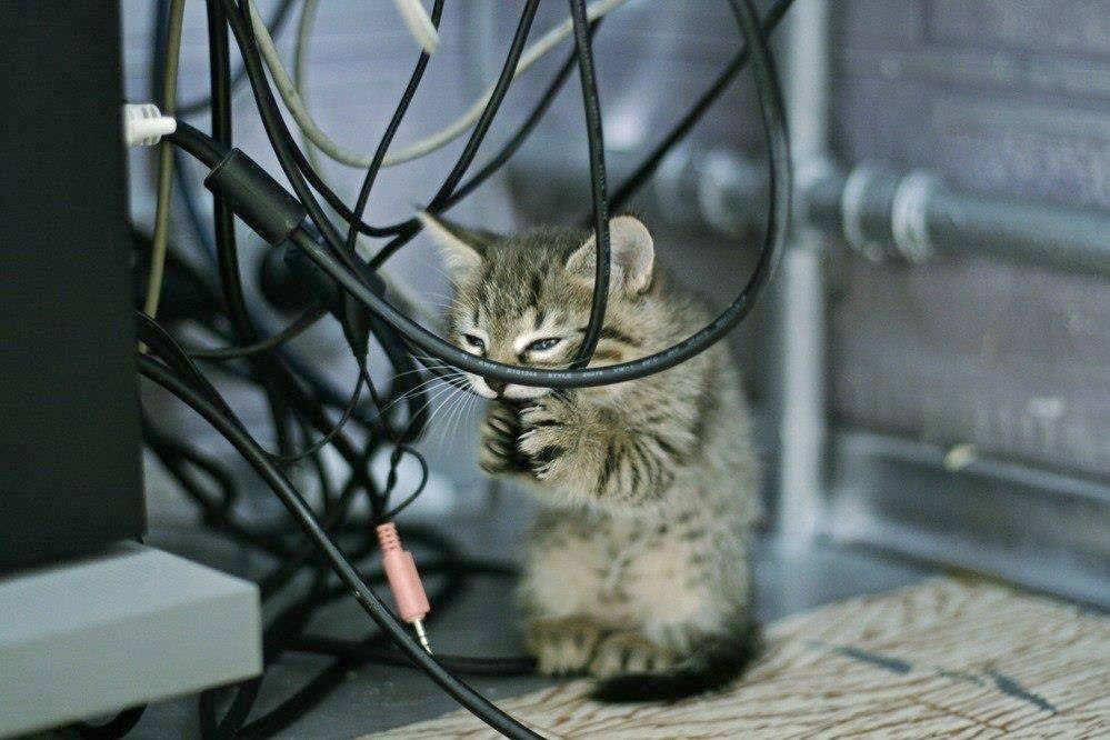 Кот грызет провода: что делать и как отучить