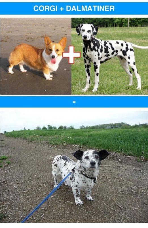 Метис – уникальная собака или дворняга?