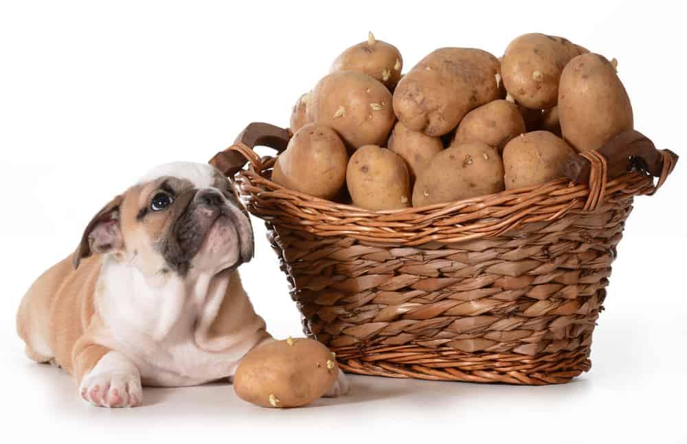 Стоит ли вводить в рацион питания собаки картофель: плюсы и минусы овоща