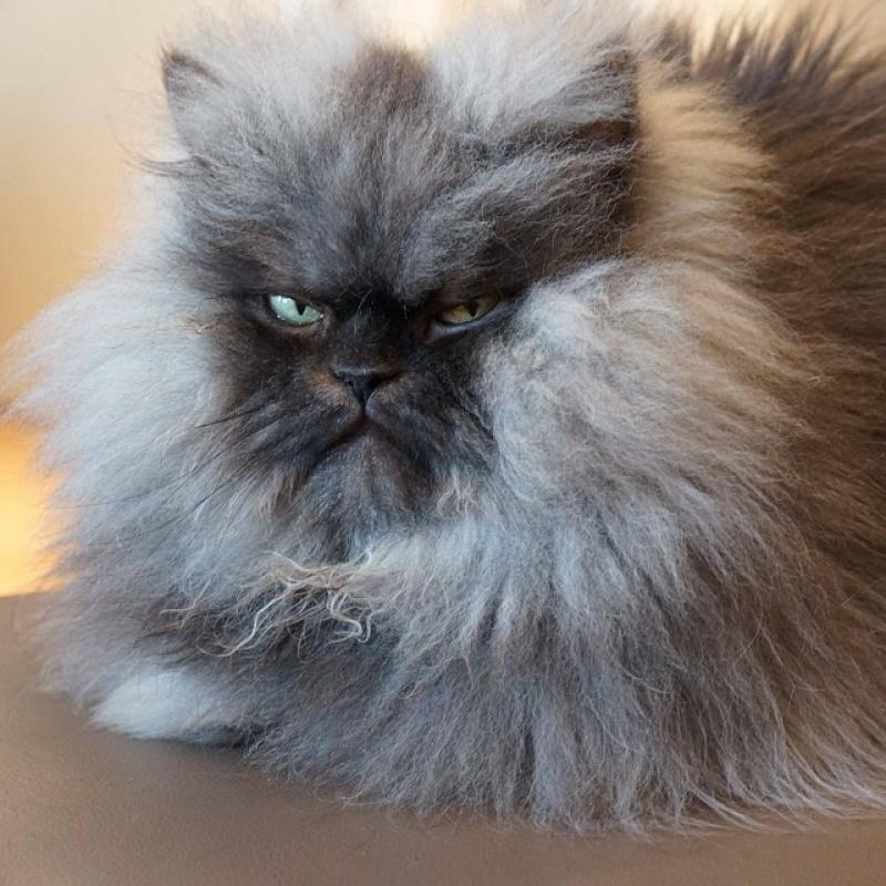 Топ самых агрессивных пород кошек с описанием